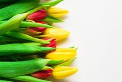 Tulipanes coloreados en un fondo blanco Fotos de archivo