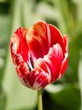 Tulipanes coloreados en una primavera hermosa en una cama de flor Imagen de archivo