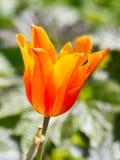 Tulipanes coloreados en una primavera hermosa en una cama de flor Imágenes de archivo libres de regalías