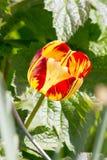 Tulipanes coloreados en una primavera hermosa en una cama de flor Imagenes de archivo