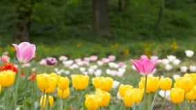 Tulipanes coloreados múltiplo en un jardín que sopla en el viento almacen de metraje de vídeo