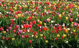 Tulipanes coloreados multi Imagen de archivo