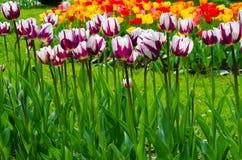 Tulipanes coloreados multi. Fotografía de archivo libre de regalías