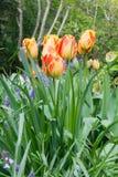 Tulipanes coloreados multi en un parque Fotos de archivo libres de regalías