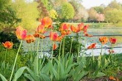 Tulipanes coloreados multi en un parque Foto de archivo libre de regalías