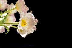 Tulipanes coloreados rosa de la luz delante del fondo negro Imagen de archivo