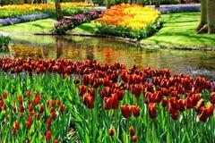 Tulipanes coloridos. Imagen de archivo libre de regalías