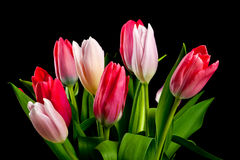 Tulipanes coloridos foto de archivo