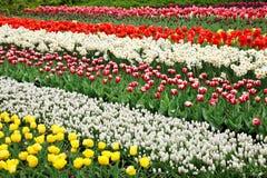 Tulipanes coloridos. Fotos de archivo