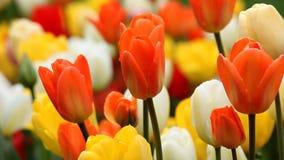 Tulipanes coloridos