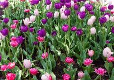 Tulipanes coloridos Fotos de archivo libres de regalías