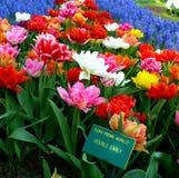 Tulipanes coloridos Imagen de archivo libre de regalías