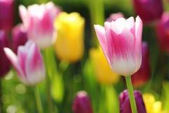 Tulipanes coloridos Fotografía de archivo