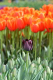 Tulipanes coloridos Fotografía de archivo libre de regalías