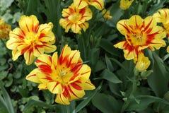 Tulipanes coloridos Foto de archivo libre de regalías