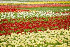 Tulipanes coloridos Fotos de archivo