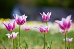 Tulipanes coloridos Imagen de archivo