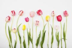 Tulipanes coloridos contra el backround blanco Fotos de archivo