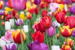 Tulipanes coloridos de la flor foto de archivo