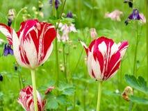 Tulipanes coloridos elegantes y Aquilegia Foto de archivo libre de regalías