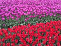 Tulipanes coloridos en campo Imagen de archivo libre de regalías