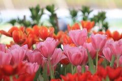Tulipanes coloridos en el jardín Foto de archivo