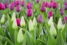 Tulipanes coloridos en el jardín Fotos de archivo