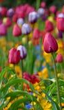 Tulipanes coloridos en el jardín Imágenes de archivo libres de regalías