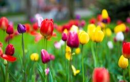 Tulipanes coloridos en el parque Imagen de archivo libre de regalías