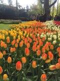 Tulipanes coloridos en el parque del keukenhof, Países Bajos imagen de archivo libre de regalías