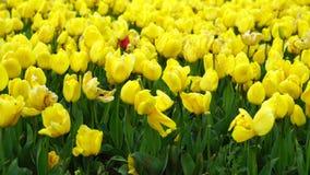 Tulipanes coloridos en Estambul almacen de metraje de vídeo