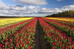 Tulipanes coloridos en la floración foto de archivo