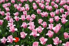 Tulipanes coloridos en resorte Foto de archivo libre de regalías
