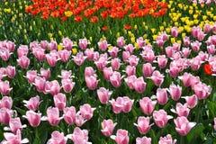 Tulipanes coloridos en resorte Foto de archivo