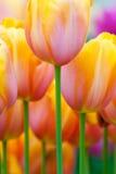 Tulipanes coloridos en resorte Imágenes de archivo libres de regalías