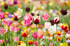 Tulipanes coloridos en un campo Fotografía de archivo libre de regalías