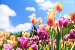Tulipanes coloridos en un jardín Imagen de archivo