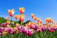 Tulipanes coloridos en un jardín Fotografía de archivo