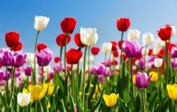 Tulipanes coloridos en un jardín Fotografía de archivo libre de regalías