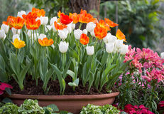 Tulipanes coloridos en una maceta Imagen de archivo