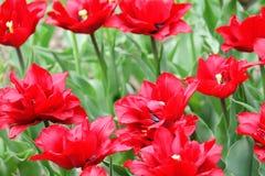 Tulipanes coloridos florecientes Foto de archivo