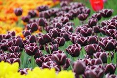 Tulipanes coloridos florecientes Fotos de archivo libres de regalías