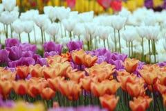 Tulipanes coloridos florecientes Fotografía de archivo libre de regalías