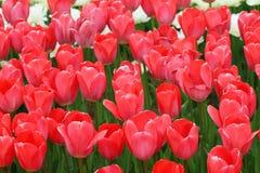 Tulipanes coloridos florecientes Imagen de archivo libre de regalías