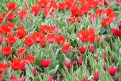 Tulipanes coloridos florecientes Imagenes de archivo