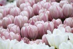 Tulipanes coloridos florecientes Imágenes de archivo libres de regalías