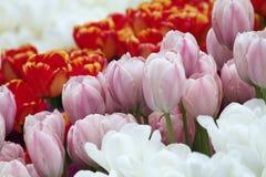 Tulipanes coloridos florecientes Fotos de archivo