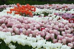 Tulipanes coloridos florecientes Imagen de archivo
