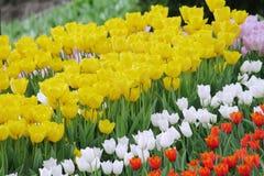 Tulipanes coloridos florecientes Foto de archivo libre de regalías