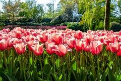 Tulipanes coloridos hermosos en Holanda - Niza flores foto de archivo libre de regalías